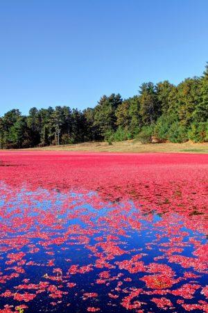Cranberry-Bogs
